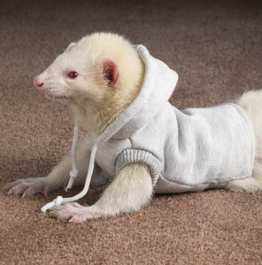 ferret-sweater-2